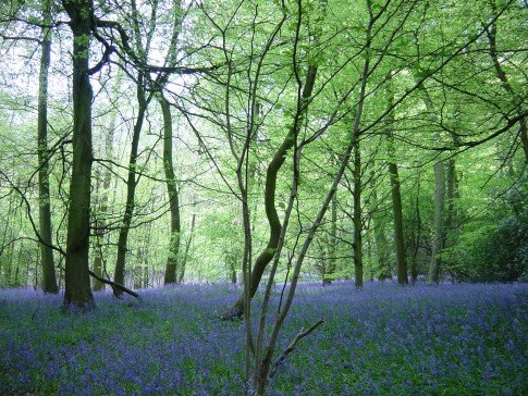 Bluebells in Bottom Wood, near Stokenchurch