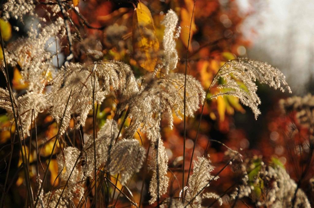 Miscanthus in autumn light 2011